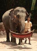 Asiatiska elefanten eller elephas maximus visa — Stockfoto