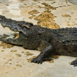 Crocodylidae or crocodile - Stock Photo
