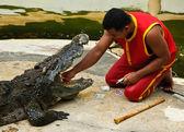 Crocodylidae 或鳄鱼表演 — 图库照片