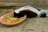 Striped skunk or Mephitis mephitis — Stock Photo