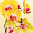 ������, ������: Purple white yellow orchid