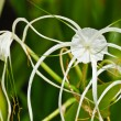 "Crinum Lily or ""Crinum asiaticum"" - Stock Photo"