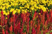 羽毛的鸡冠花、 万寿菊花卉 — 图库照片
