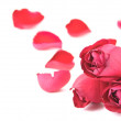 Pink roses and petals on white background — Stock Photo