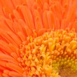 Orange daisy-gerbera — Stock Photo