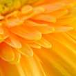 Foto Stock: Yellow daisy-gerbera