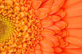 Orange daisy-gerbera — Foto de Stock