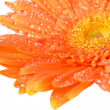 Orange daisy-gerbera — Stock Photo #18081257