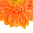 Foto Stock: Orange daisy-gerbera