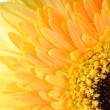 Yellow daisy-gerbera — Stock Photo #18083581