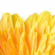 Yellow daisy-gerbera — Stock Photo