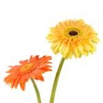 Orange and yellow daisy-gerbera — Stock Photo #18084029