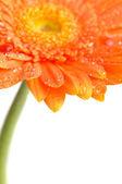 Orange daisy-gerbera — Stock Photo