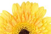 Yellow daisy-gerbera — Stock Photo