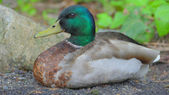 Mallard Duck Chilling Out — Stock Photo