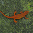 Red Spotted Newt — Stock Photo #46852151