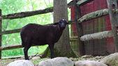 A Black Goat  — Stock Photo