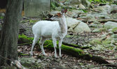 A White Deer — Stock Photo