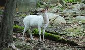 A White Deer — Foto Stock