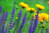 Purple and Yellow Wildflowers — Stock Photo