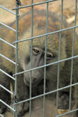 Prison Ape — Stock Photo