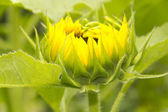 Sunflower Opening — Stockfoto