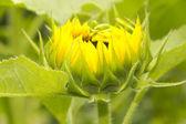 Sunflower Opening — Stock Photo