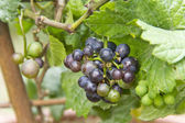 Vitis Vinifera — Stock Photo