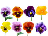 Pansies Violets flowers it is isolated on a white background — Stock Photo