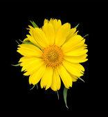 желтый цветок на черном фоне — Стоковое фото