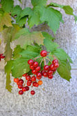 Branch of a guelder-rose — Stock Photo