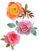 Roses flowers it is isolated a holiday — Stock Photo