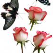 Butterflies and pink roses - Stock Photo