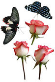Butterflies and pink roses — Stockfoto