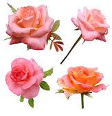 Boccioli di rosa — Foto Stock