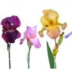 Постер, плакат: Flowers irises