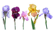 Flowers irises — Stock Photo
