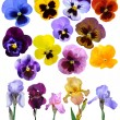 Irises violet flowers it is isolated a holiday collection - Foto de Stock