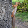 Squirrel on a tree trunk — ストック写真