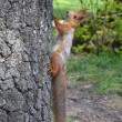 Stock Photo: Squirrel on tree trunk