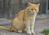 Red cat — Stockfoto