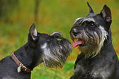Miniature schnauzer dog — Stock Photo