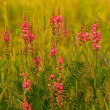 Beautiful pink flower field — Stock Photo