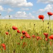 Stock Photo: Poppies field