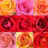 Roses collage — Stock Photo