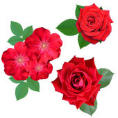 Red rose and briar flowers — Stock Photo