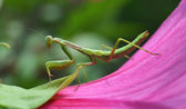 Mantis insect on a flower roses — Stock Photo