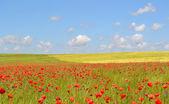 Campo de amapolas y cielo azul — Foto de Stock