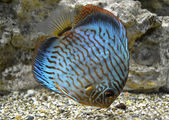 Discus for aquarium saltwater fish — Stock Photo