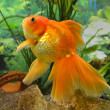 Aquarium goldfish carp — Stock Photo